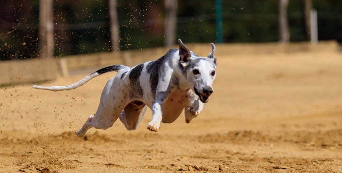 greyhound ireland