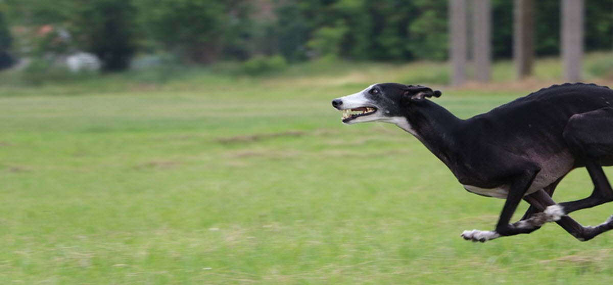 greyhound new zealand